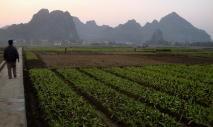 'Political agriculture' in Guizhou: seedlings planted in straight lines (photograph by Tan Tongxue)
